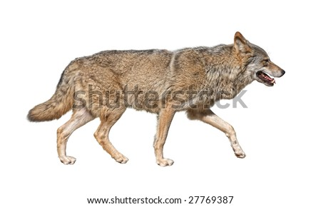 Gray wolf (Canis lupus) run in hunting pursuit side view cutout - stock photo