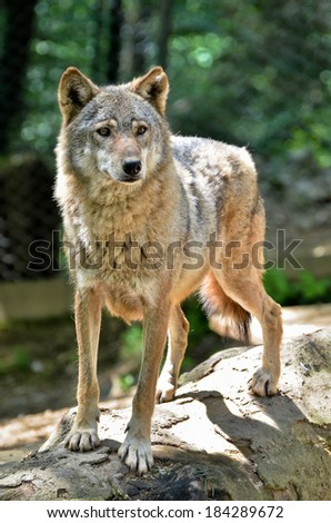 Gray wolf - Canis lupus standing on a log - stock photo