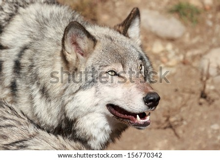 gray wolf during autumn