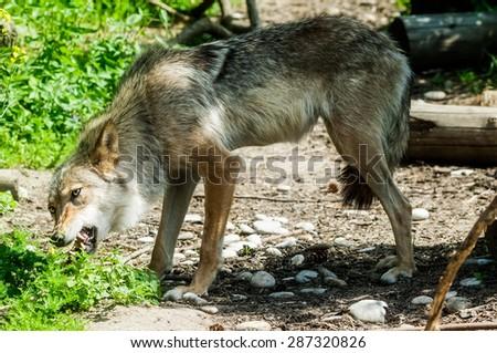 Gray wolf eats raw meat . - stock photo