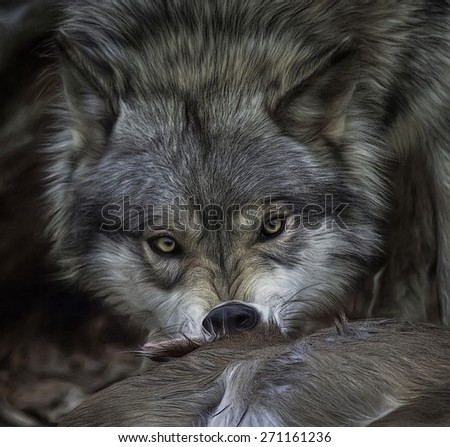 Gray Wolf Feeding With Eyes Staring Straight at You - stock photo