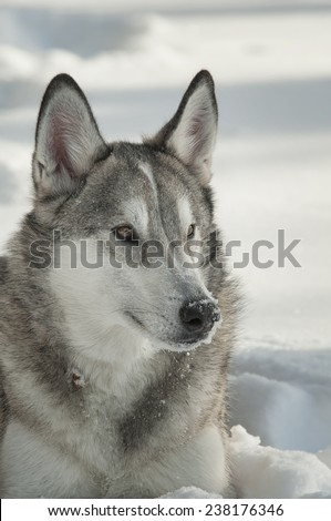 Gray Wolf in Snow - stock photo