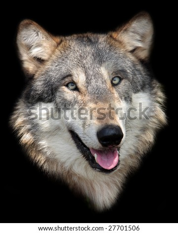 Gray wolf portrait isolated on black background