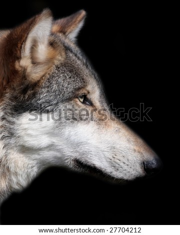 Gray wolf portrait isolated on black background - stock photo