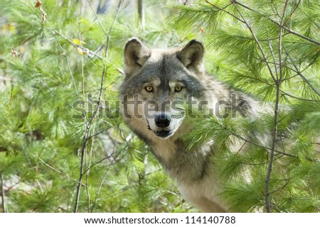 Gray wolf staring at photographer from evergreens