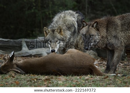 Gray Wolves Feeding on a Deer