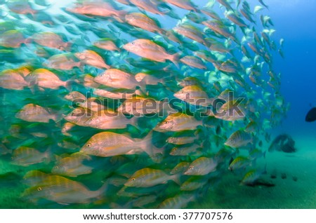 Graybar grunt (Haemulon sexfasciatus), forming a school in a shipwreck, reefs of Sea of Cortez, Pacific ocean. Cabo Pulmo, Baja California Sur, Mexico. The world's aquarium, blurred. - stock photo
