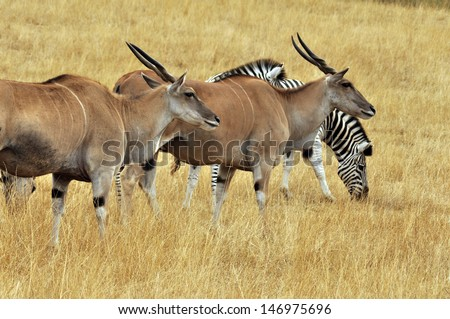 grazing antelope and zebra at local animal preserve/Grasslands - stock photo