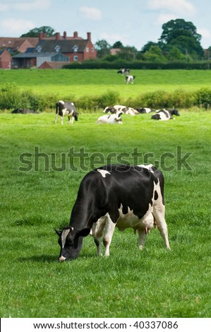 Grazing black and white cow in lush meadow with farm buildings in background - stock photo