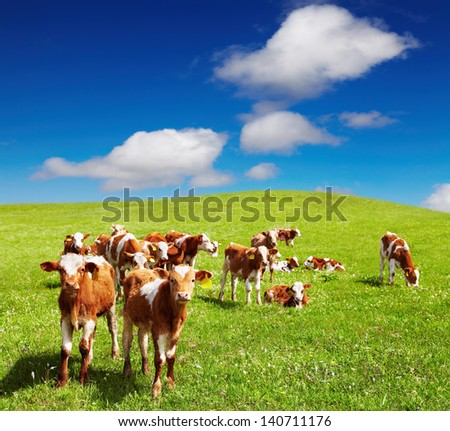 Grazing calves on green hill - stock photo