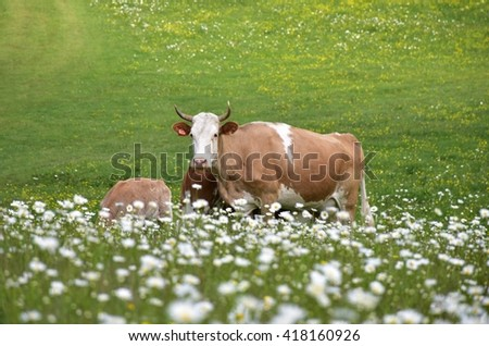 Grazing cow on a meadow