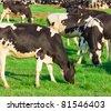 Grazing Cows Grazing - stock photo