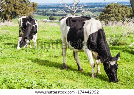 grazing cows in a fresh pasture - stock photo