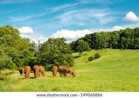 Grazing cows in summer meadow with lush grassland - stock photo