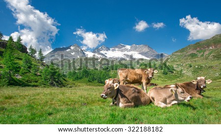 Grazing cows in the Swiss mountains - stock photo