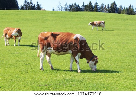 stock-photo-grazing-cows-on-a-meadow-in-