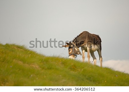 Grazing Donkey - stock photo
