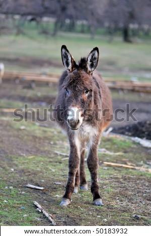 grazing donkey on rural grassland - stock photo