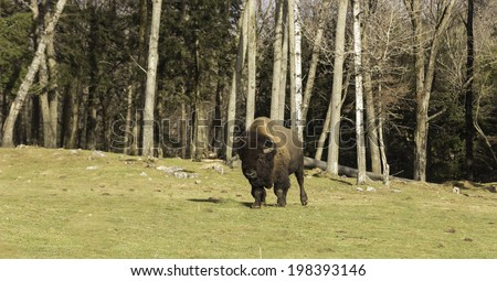 Grazing field buffalo - stock photo