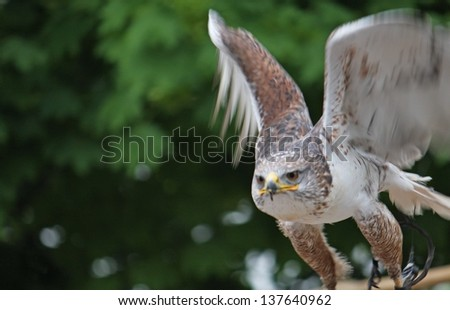 grazing flight of a wild Falcon Raptor in nature - stock photo