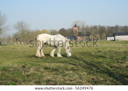 Grazing frisian white horse,  dutch countryside - stock photo