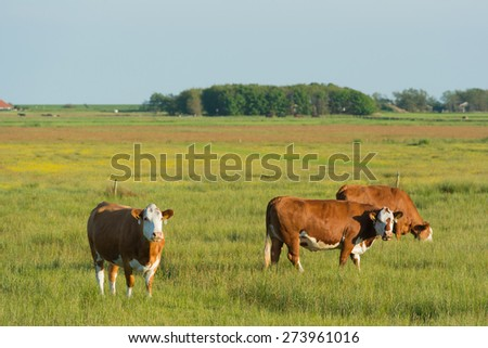 Grazing Herford cows on Dutch wadden island Terschelling - stock photo