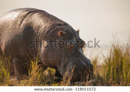 Grazing hippopotamus up close in Chobe National Park - stock photo