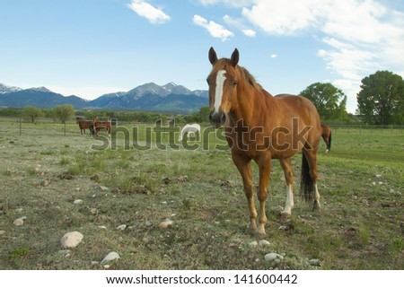 Grazing horses in spring in the collegiate peaks of Colorado's Rocky Mountains, near Salida and Buena Vista. - stock photo