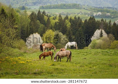 grazing horses on a green mountain meadows, spring nature of Slovakia - stock photo