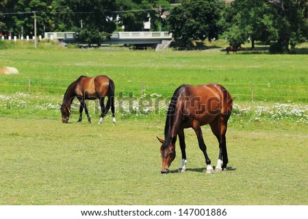 Grazing Horses on the green Field