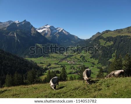 Grazing Raetisches Grauvieh In The Alps - stock photo