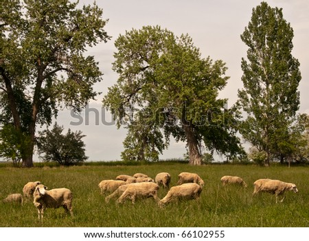 Grazing Sheep - stock photo