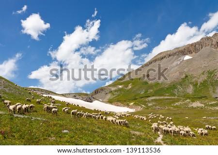 Grazing Sheep Herd in Alpine Tundra in Colorado - stock photo