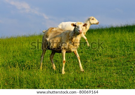 Grazing sheep in Evening Light, family farm, Webster County, West Virginia, USA - stock photo