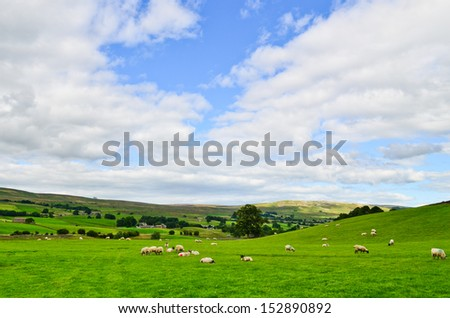 Grazing sheep in the Yorkshire Dales - stock photo