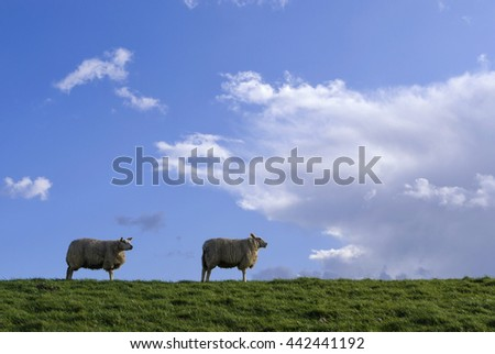 Grazing sheep on a dike on the Isle of Dordrecht