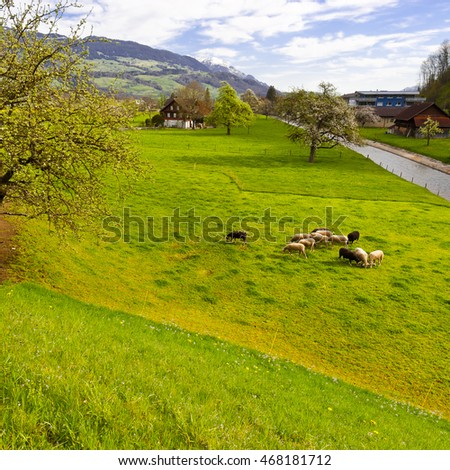Grazing Sheep on the Sloping Meadows in Switzerland