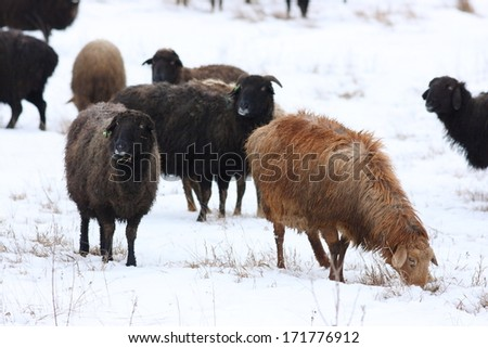 Grazing sheep (Ovis aries) in the winter - stock photo