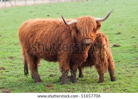 Grazing yak and baby yak - stock photo