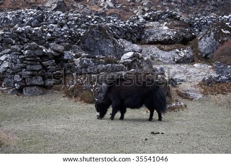 Grazing yak, Everest trek, Himalaya, Nepal - stock photo