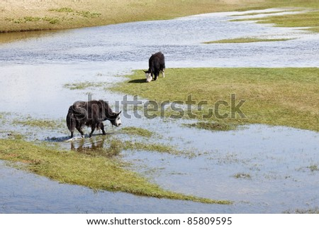 Grazing Yaks in the wetlands of Qinghai Lake - stock photo