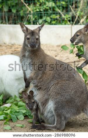grazzing Red necked Wallaby, kangaroo with baby in bag - stock photo