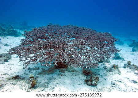 great acropora coral at the bottom of tropical sea, underwater