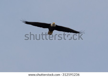 Great American Bald Eagle soaring in a blue sky background - stock photo