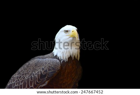 Great Bald Eagle isolated on a dark background - stock photo