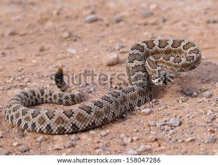 Great Basin Rattlesnake, Crotalus oreganus lutosus  - stock photo