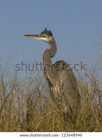 Great Blue Heron 4 - stock photo