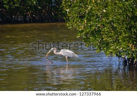 Great Blue Heron, Ardea herodias, Catches Mangrove Salt Marsh Snake, Nerodia clarkii compressicauda, on Sanibel Island, Florida. - stock photo