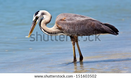 Great blue heron (Ardea herodias)  catching a fish - stock photo
