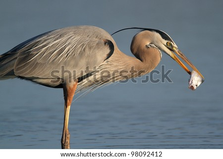 Great Blue Heron (Ardea herodias) Eating a Fish - Fort Myers Beach, Florida - stock photo